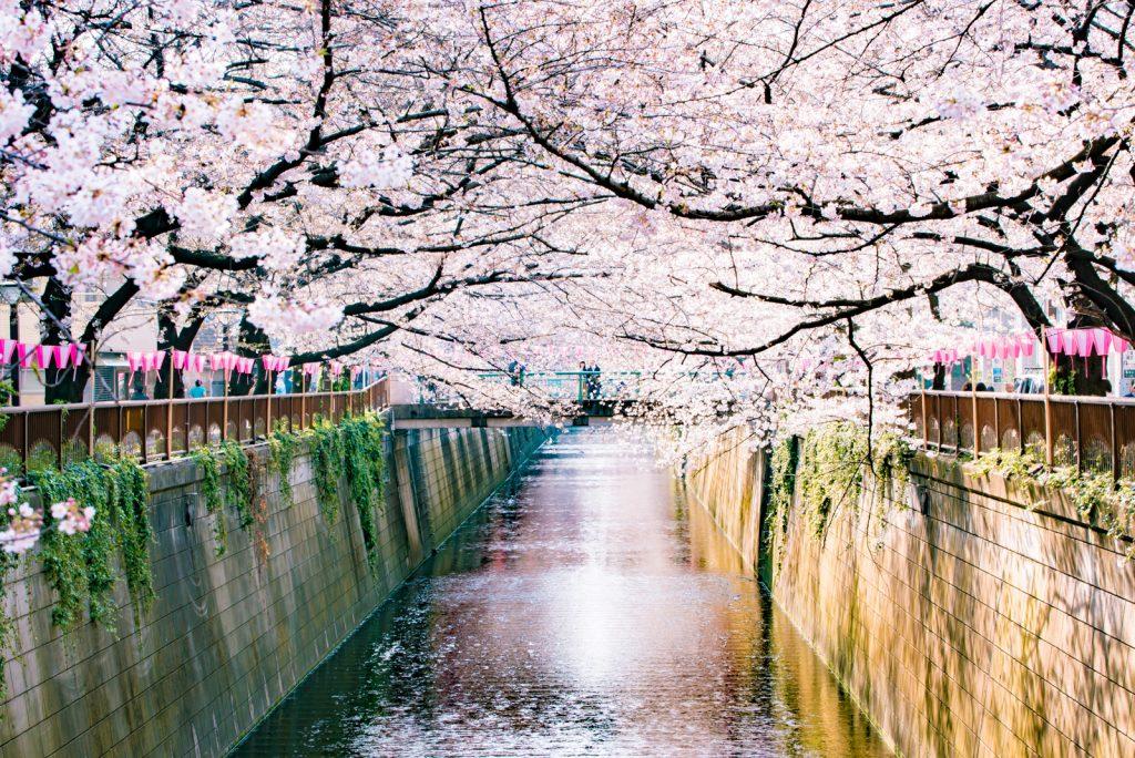 春の季節の桜